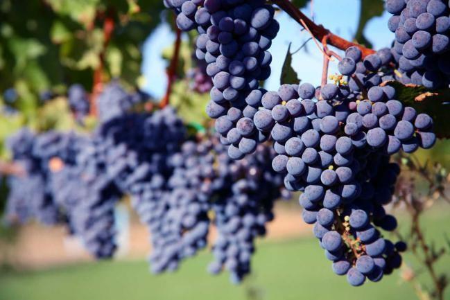 Aceite de semilla de uva: amigo para la piel - Otra Medicina