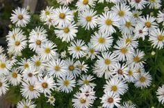 Um jardim para cuidar: Aster, uma flor indispensável no outono !