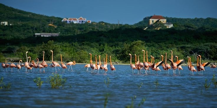Flamingos at the salt flats in Curacao. Photography by Carlo Walle