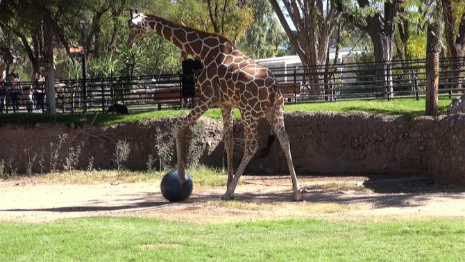 Jasiri, a 5-year-old giraffe at the Reid Park Zoo in Tucson, Arizona, was spotted earlier this week practicing his moves in the field. Also in his herd are Eleanor, an 18-year-old female giraffe, and Denver, who is 28 and considered a senior. According to a trainer at the zoo, they often give animals different enrichment tools, like a soccer ball, to mimic their actions in the wild. And, if he needs some company, rumor has it some lions cubs a few dens down enjoy a friendly match too.