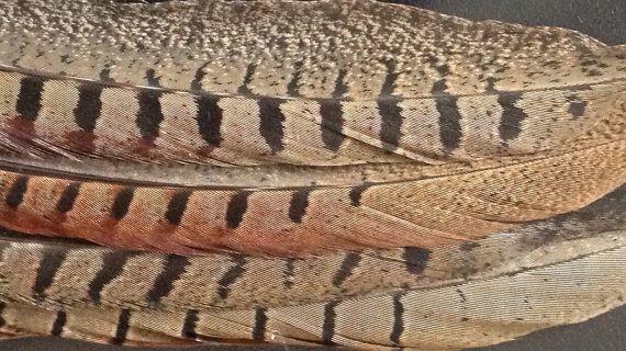 Staartveren fazant veren van fazantenhaan  door DeKeukenVanHegge