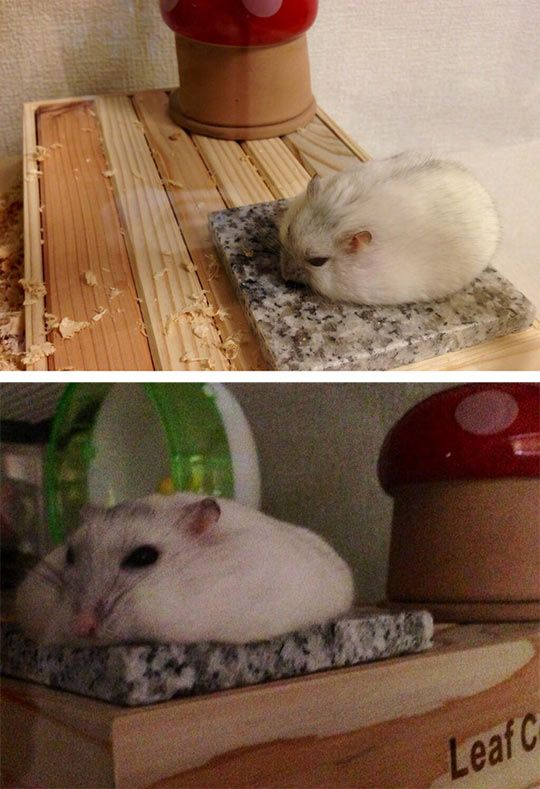 Hamster cooling off on a little slab of granite :-) This is a great idea for small pets if your home gets a little hotter in the summer months.