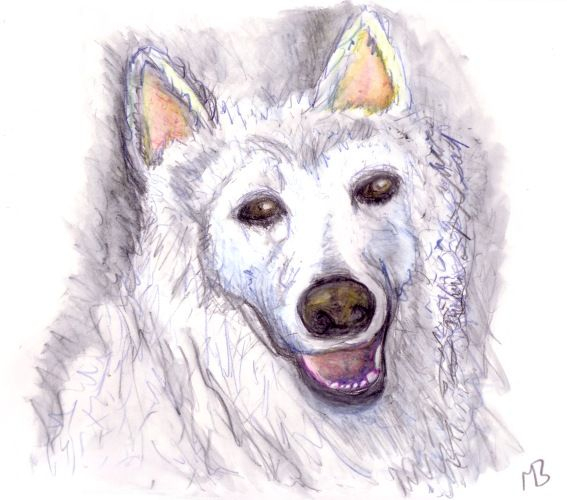 Drawing of Sammy, Samoyed German Shepard.  An earlier work, drawn using watercolour pencils.