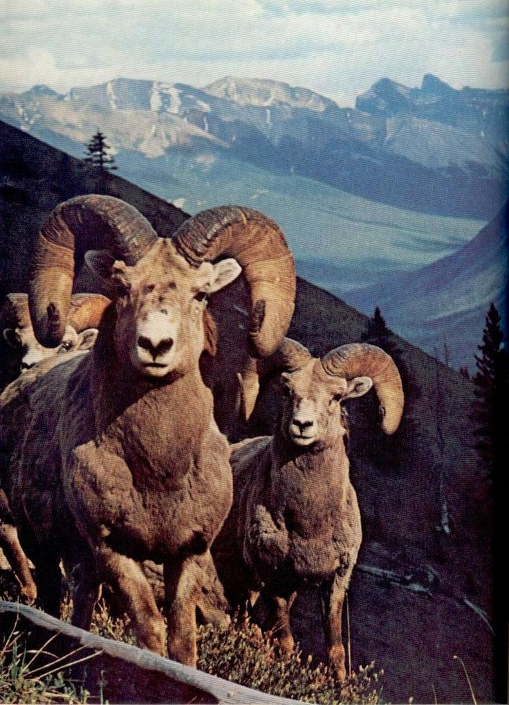 bighorn muslim Answer the practice questions on this worksheet and quiz to see how much you know about bighorn sheep these handy and helpful tools are always.