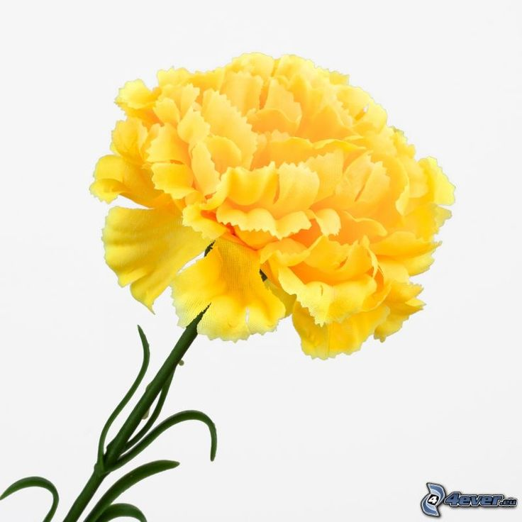 Yellow Carnations | Download picture Download with no limits Download without logo ...