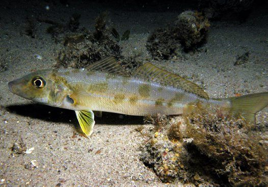 Trumpeter Whiting  - Sillago maculata - found over sandy and silty seabeds in estuarine and inshore waters.