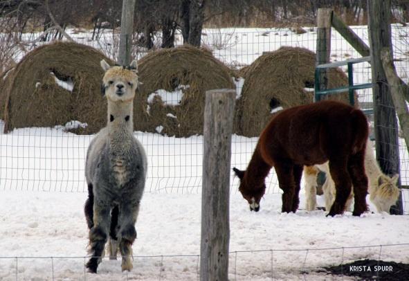 Nova Scotia road trip Malagash alpacas