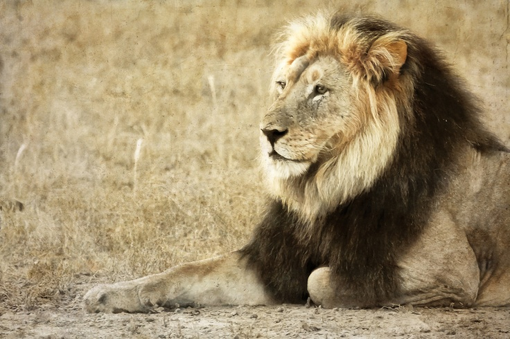 Africa | Portrait of a male lion in the Kgalagadi Transfontier Park.  | © Mario Moreno