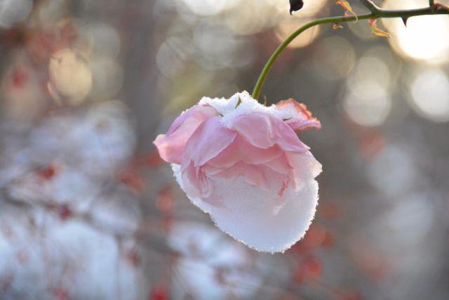 Vielä kukkii  New dawn jo lumipeitteisenä