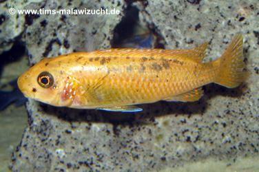 """Labeotropheus trewavasae """"Thumbi West"""" Weibchen"""