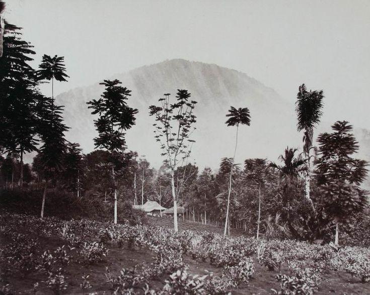 Theeplantage op West-Java