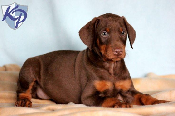 Red Doberman Pinscher Puppies For Sale