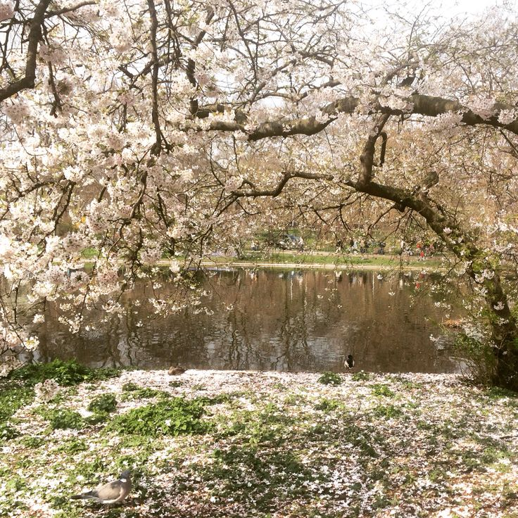 #StJames'sPark #London #blossom