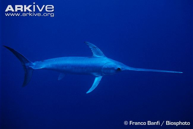 Afast-swimming predator, the swordfish (Xiphias gladius)gets its name from its extremely long, flat, sword-like bill, which is used to impale or slash its prey. The swordfish, the only...