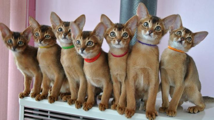 Abyssinian Cat Personality   abyssinian kittens