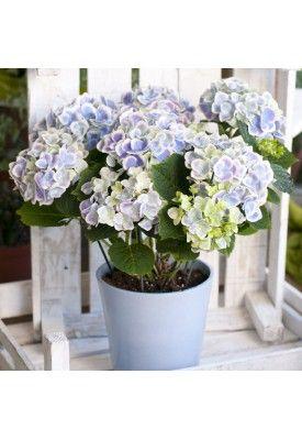 Hydrangea in pot www.floraison.gr