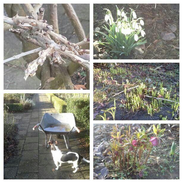 Rondje door de tuin, naar de storm. Aan de takken van de Blauweregen is al knop vorming te zien. De eerste vasteplanten die zich laten zien zijn Hemerocalis met hun mooie groene neuzen. De Sneeuwklokjes en de Heleborus bloeien. De kruiwagen zit nog vol regenwater.  24-2-2017.