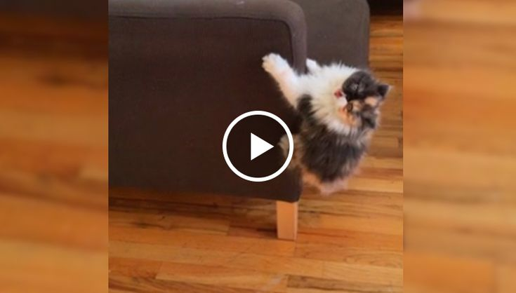 This 4-month-old Persian kitten named Tiramisu becomes crazy during kitty playtime. Contrary to popular belief, she isn't on catnip in this video!