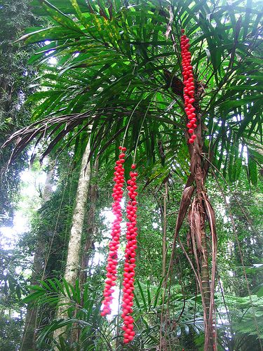 Walking stick palm, Australian Rainforest