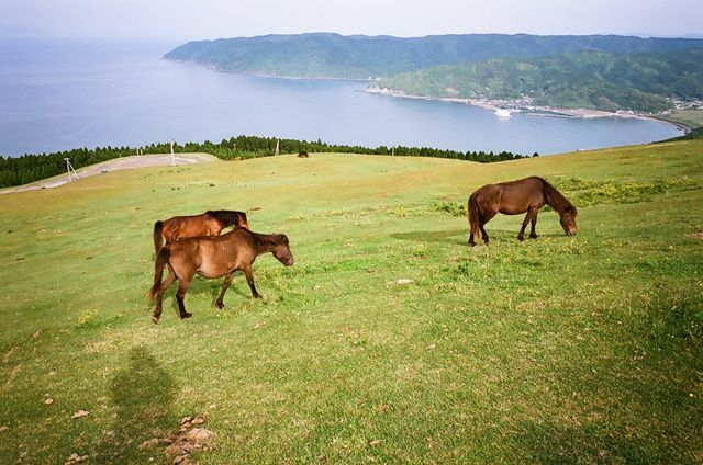 Misaki horses. 都井岬 カメラ:Fujifilm klasse w film:Agfa ultra color 100
