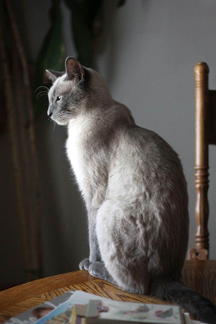 41 best RagaMuffin Cat images on Pinterest