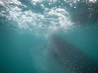 For more information about swimming with whale sharks, please clickhere.