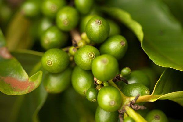 BioTech USA Green Coffee - Zöld kávé
