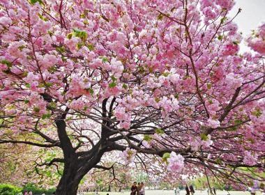 CULTURE - Fête Hanami : littéralement, « regarder les fleurs », ou o-hanami avec préfixe honorifique, est la coutume traditionnelle japonaise d'apprécier la beauté des fleurs, principalement les fleurs de cerisier (sakura). À partir de fin mars ou début avril, les sakura entrent en pleine floraison partout dans le Japon.