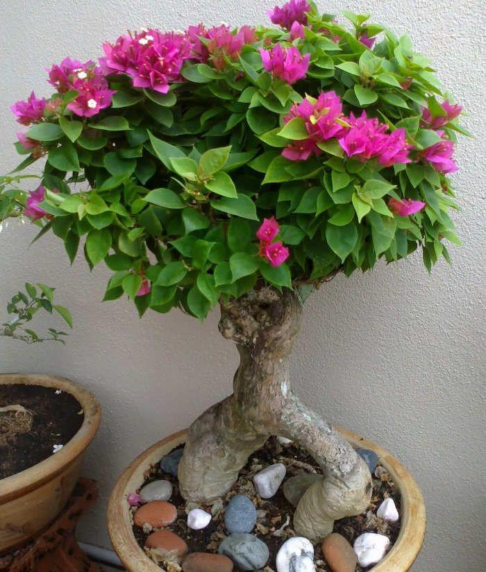Foto Cara Merawat Bunga Bougenville di Dalam Pot