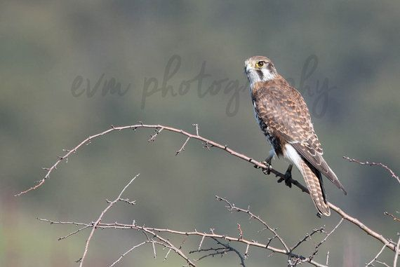 $10 Brown Falcon ***INSTANT DOWNLOAD*** An original photograph of a Brown Falcon by EVM Photography, available for instant download from etsy.com