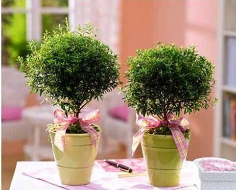 Миртовое дерево (мирт) - уход в домашних условиях http://www.myflora.com.ua/index.php?option=com_content&task=view&id=936&Itemid=133