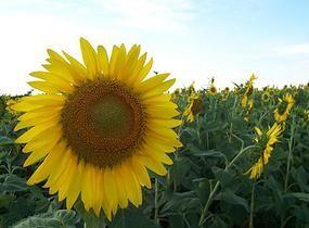 Prod Sor   ulei floarea soarelui presat la rece - 6 lei/litru