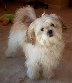 Image detail for -Yoda The Maltese Yorkie Shih Tzu Mix Flickr Photo Sharing | Pelauts ...