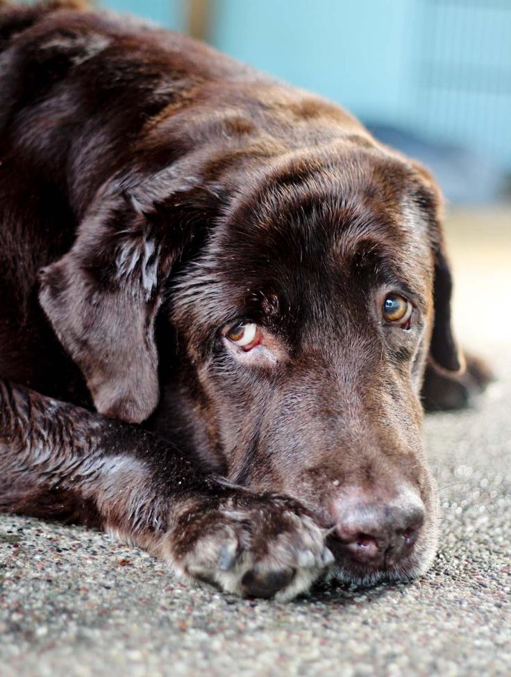 Yes?  Milo my chocolate Labrador.