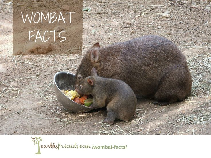 The Ultimate Wombat Facts Guide: Metabolism, Its Biggest Threats, The Importance of the Wombat & More