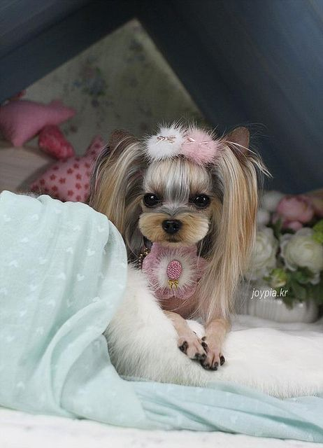 Yorkie♥ //Ani Oakley: I cannot lie, I love dogs with their hair done//