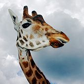 10 Little-Known Facts About Giraffes