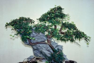 The Chinese elm (Ulmus parvifolia), or lacebark elm, is an ornamental deciduous tree that is a good species for a beginner to grow as bonsai. This resilient tree grows in U.S. Department of Agriculture plant hardiness zones 5 through 9 and can tolerate a variety of soil compositions. Bonsai soils, in particular, are designed to provide aeration and adequate drainage so that the soil remains moist, but is loose enough to allow new root growth.