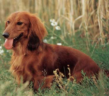 If we get another pup I want to get another long haired dachshund but with brown or reddish hair :)