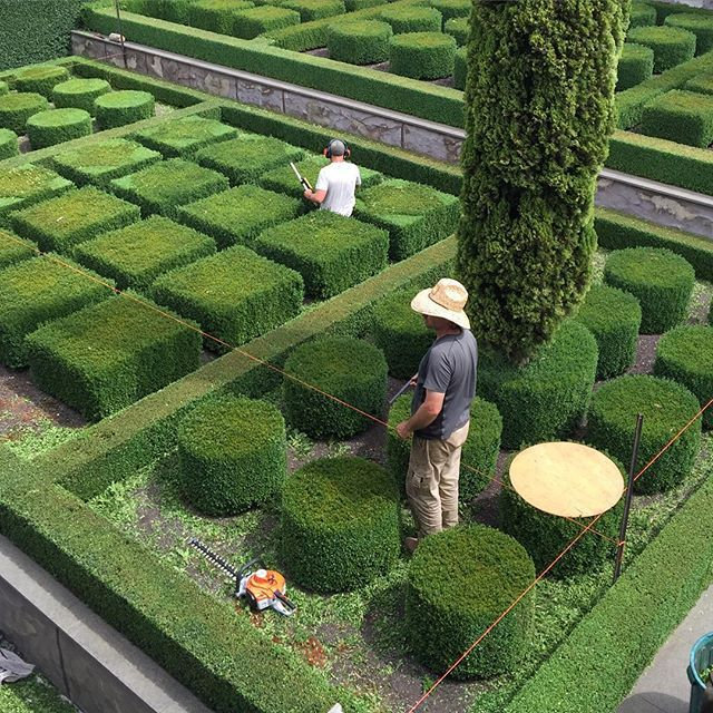 Now I know how they get them so even!!! It's time to hedge the parterre. Hopefully the heat will stay away long enough so the box doesn't burn. #paulbangay #stonefields #parterre