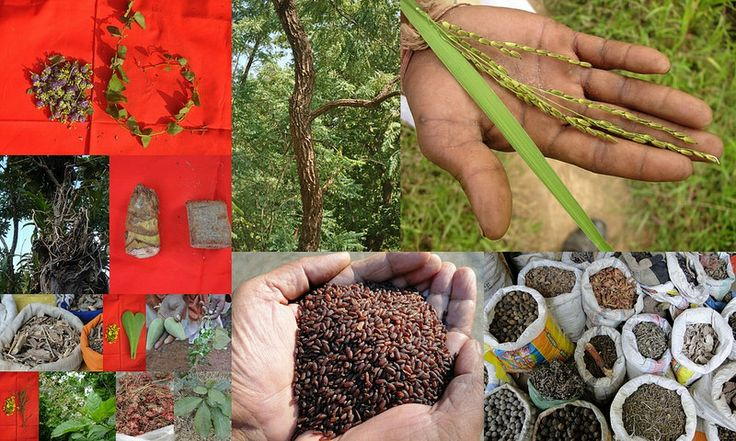 Medicinal Rice based Tribal Medicines for Diabetes Complications and Metabolic Disorders (TH Group-631) from Pankaj Oudhia's Medicinal Plant Database