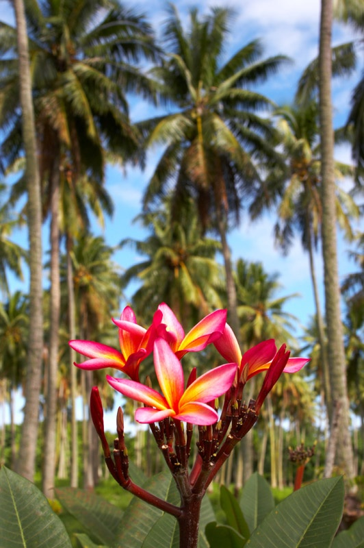 Plumeria and Palms...this is how tropical is done!!!