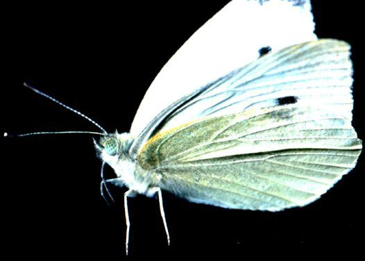 The Cabbage White Butterfly lives in urban areas