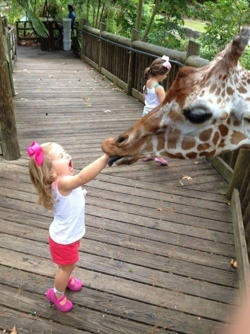 This giraffe enveloping this child in its juicy mouth.