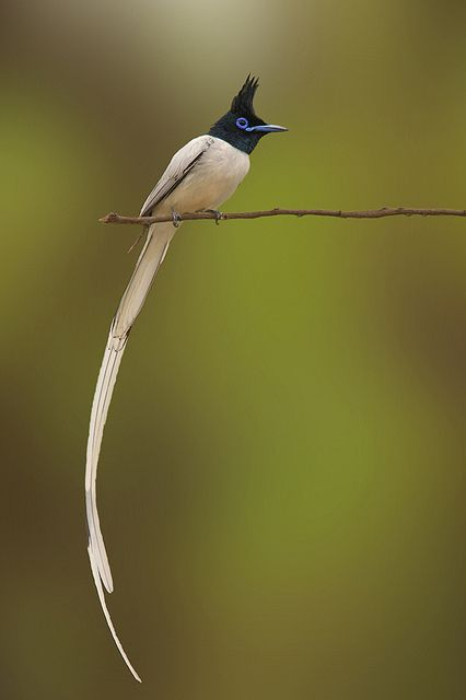The Asian Paradise Flycatcher, Terpsiphone Paradisi, is a medium-sized passerine bird native to Asia. Males have elongated central tail feathers and in some populations a black and rufous plumage while others have white plumage. Females are short-tailed with rufous wings and a black head. They feed on insects, which they capture in the air often below a densely canopied tree. They have been evaluated as Least Concern by IUCN since 2004.