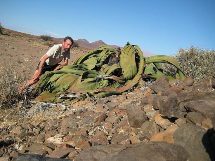 59 best welwitschia mirabilis of namibia images on. Black Bedroom Furniture Sets. Home Design Ideas