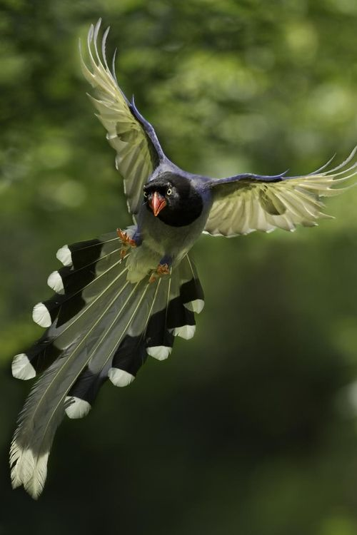 """Taiwan Blue Magpie(Urocissa caerulea), also called the Taiwan magpie or Formosan blue magpie or the """"long-tailed mountain lady""""  is a member of the Crow family."""