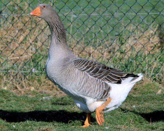 Oie de Toulouse, l'oie 19€, le jar 43€