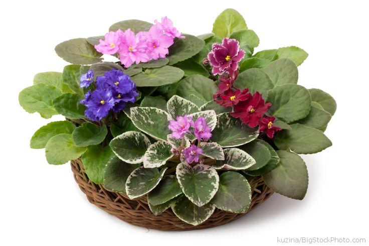 African violet, Saintpaulia - My House Plants