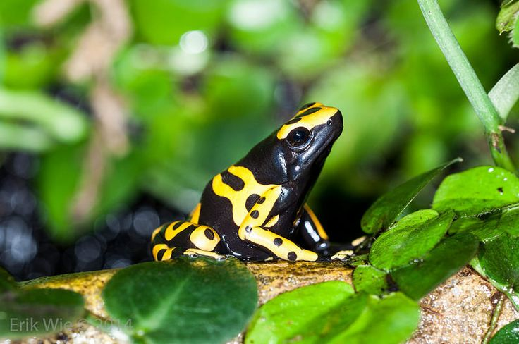 Yellow-banded poison dart frog | Flickr - Photo Sharing!